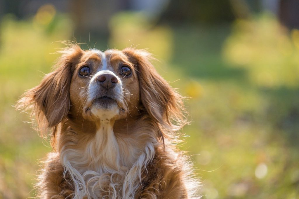 dog, canine, pet